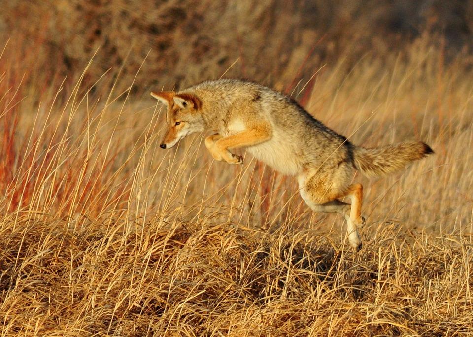 Como cazan los coyotes