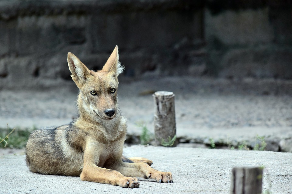 cria de coyote
