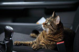ayudar a los gatos a disfrutar de viajes.